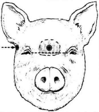 Pig Head Anatomy Diagram