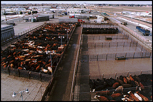 Basic Curve Design For Cattle Handling Cattle Yards And